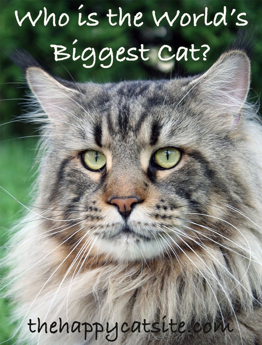 Cat Breeds The Biggest Domestic House Cats