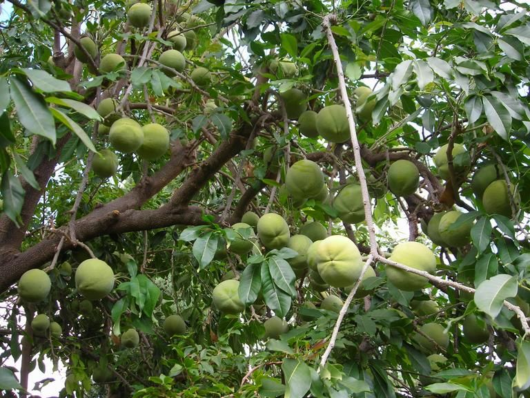 Growing_mango.JPG