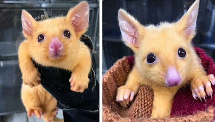Rare Mutated Golden Australian Possum Is Named Pikachu Nature And Animals In 2020 Australian Possum Cute Animal Pictures Pikachu