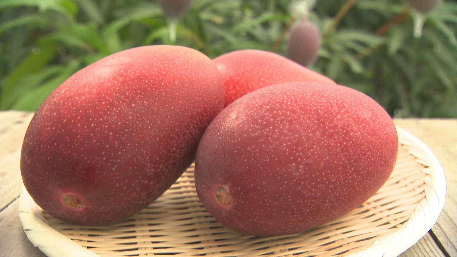 Today, we focus on the king of fruit, mango. Though often thought of as a tropical fruit, they are also grown in Japan. Large, delic… | Mango, Tropical fruit, Fruit