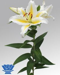 Golden Romance Oriental Lily Basic information Colour: White / Yellow Growing-period/speed: 90 – 100 days Plant height: 40 – 50 cm Position of flower: Up facing Suitable for: Pot Bud size: Normal Sensitive for leafscorch: N Stem strength: Normal Breeder: GAV