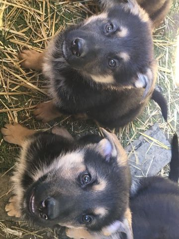 German Shepherd Dog Puppy For Sale In Indianapolis In Adn 26047
