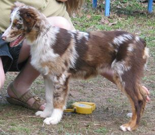 Red Merle Harlequin Tweed Australian Shepherd Australian