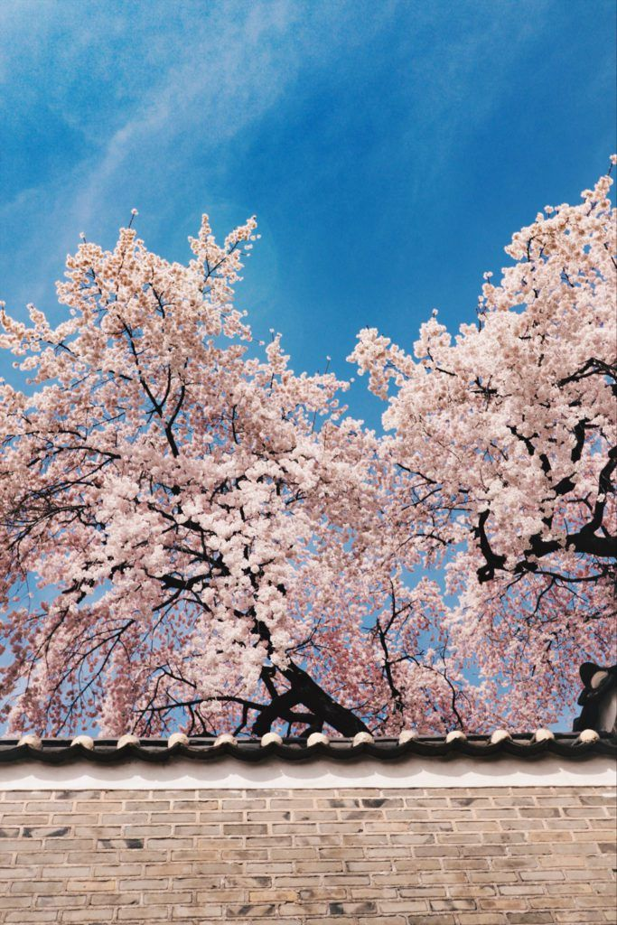 Spring In Korea 40 Photos To Convince You It S The Best Time To Visit South Korea Television Of Nomads Korea Wallpaper Cherry Blossom Wallpaper South Korea Photography