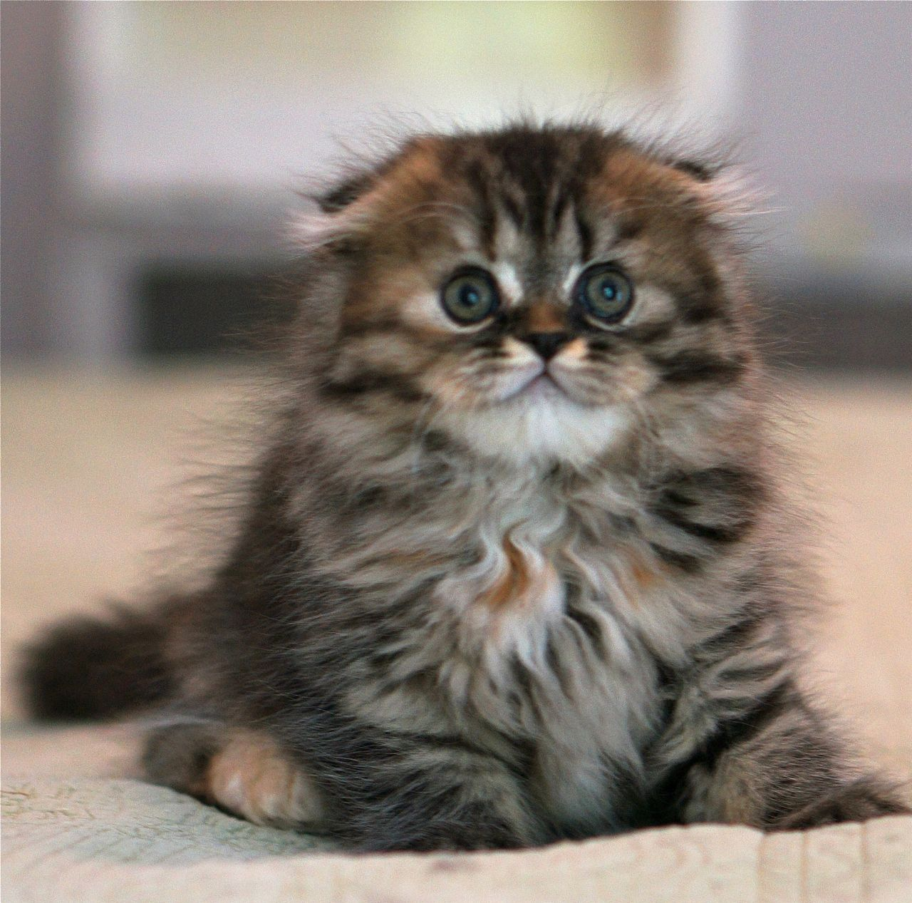 Rare Scottish Fold Munchkins Scottish Fold Kittens Price