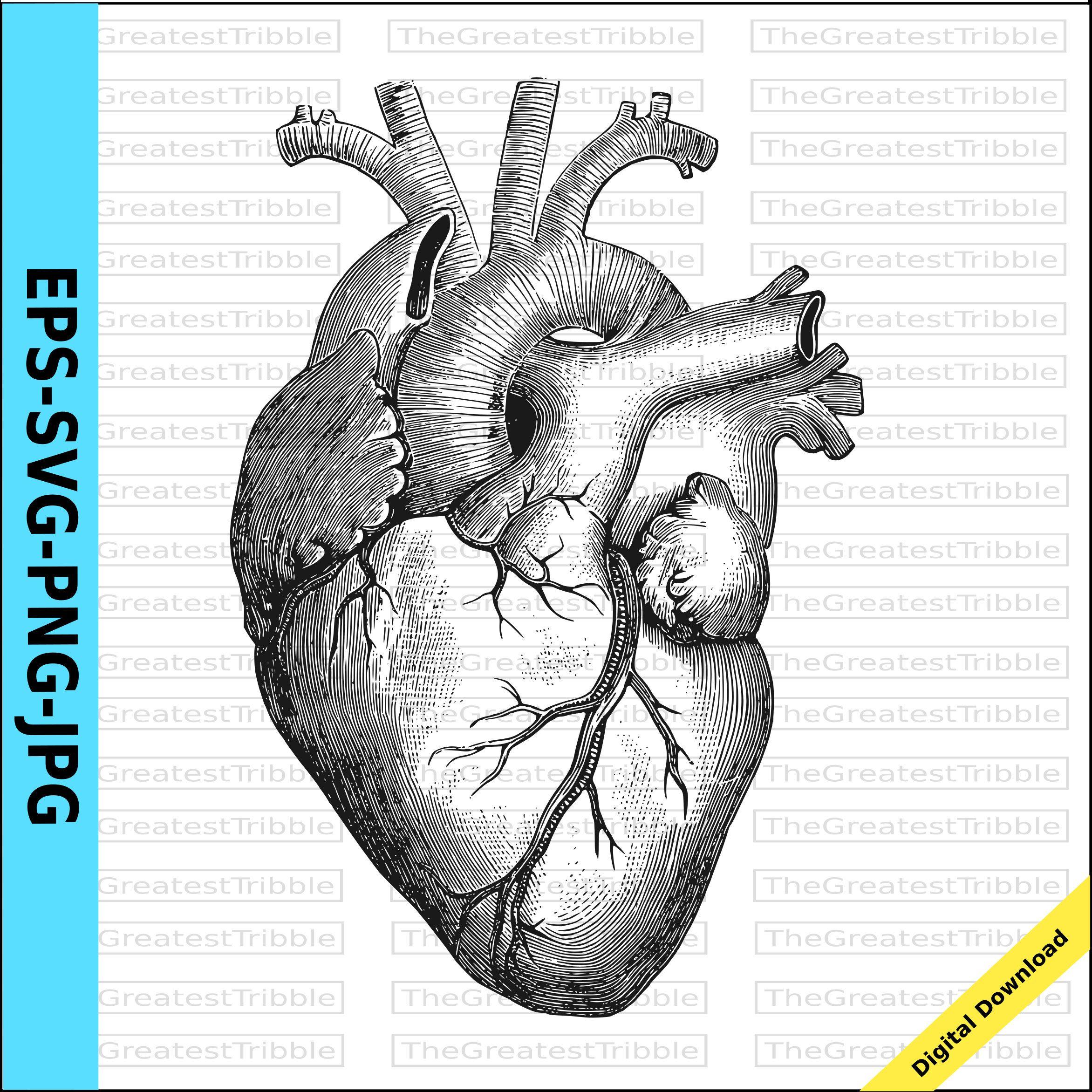 Anatomical Heart Clip Art Eps Svg Png Jpg Valentine Heart Digital Anatomical Heart Printable Clip Art Morbid Valent In 2021 Heart Clip Art Dinosaur Silhouette Clip Art