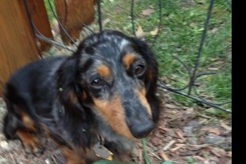 A Sweet Furever Dachshund Rescue Named Bobby Needs Urgent Cardiac