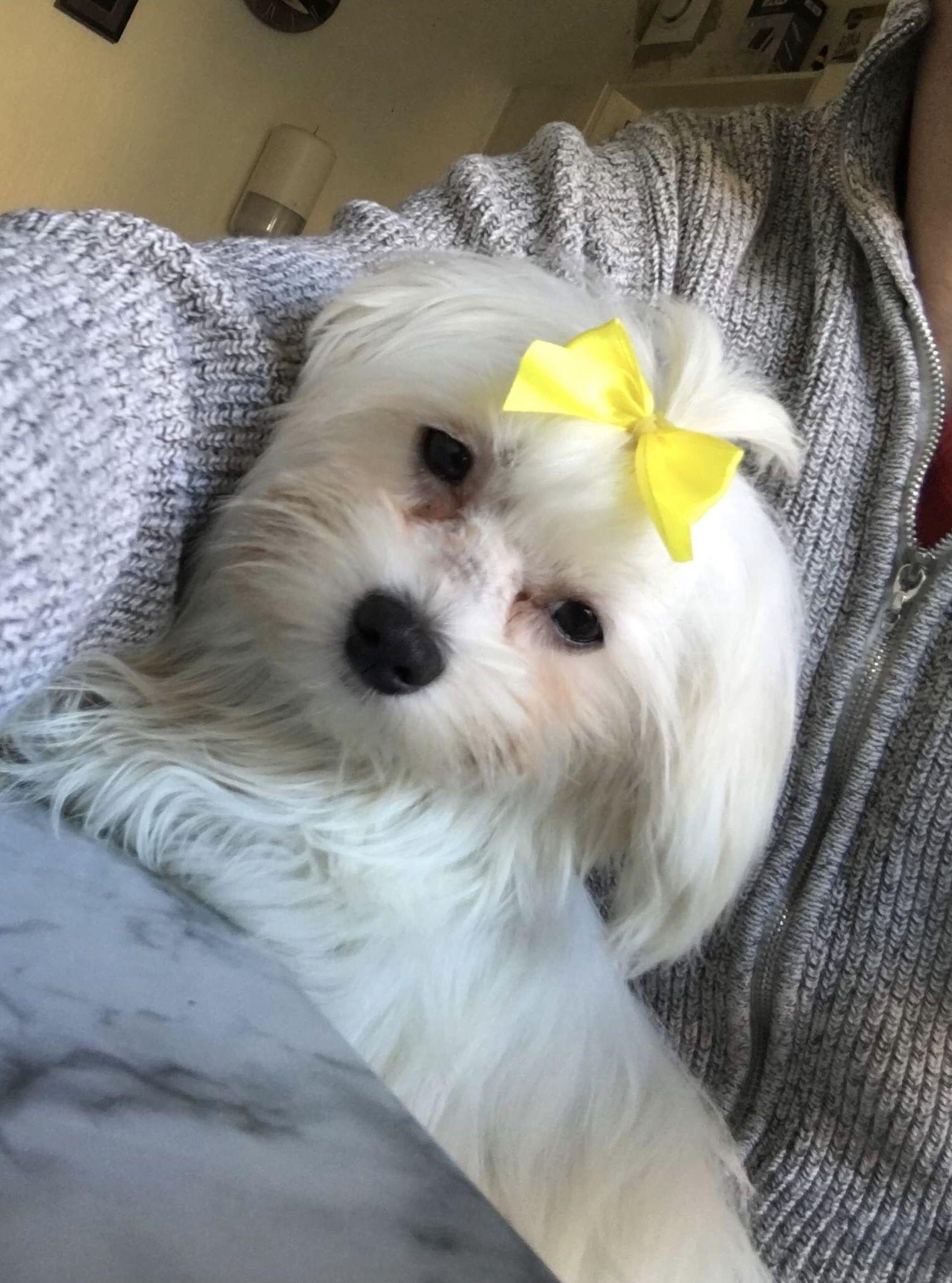 Maltese Az En Gyonyorum Mylove Dogs Cute Puppies Dogs Doggy
