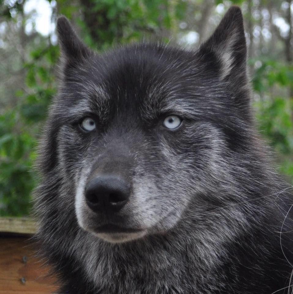 Northamerican Wolfdog Hydra Blue Eyes From Texaswolfdog Project Wolf Dog Animals Wolf Photos