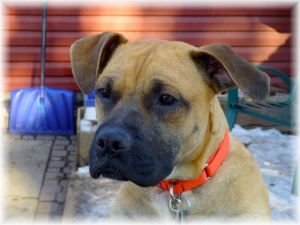 Adopt Paco On Petfinder Paws Rescue Boxer Dogs Dog Life