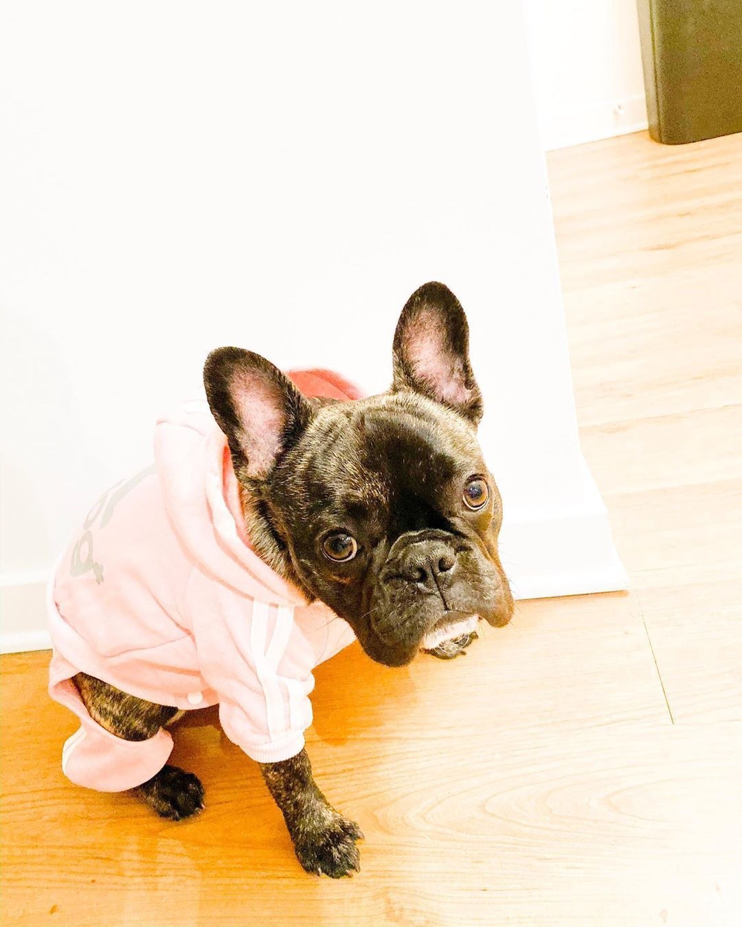 10 French Bulldog Facts That You May Find Fascinating Diarrhea