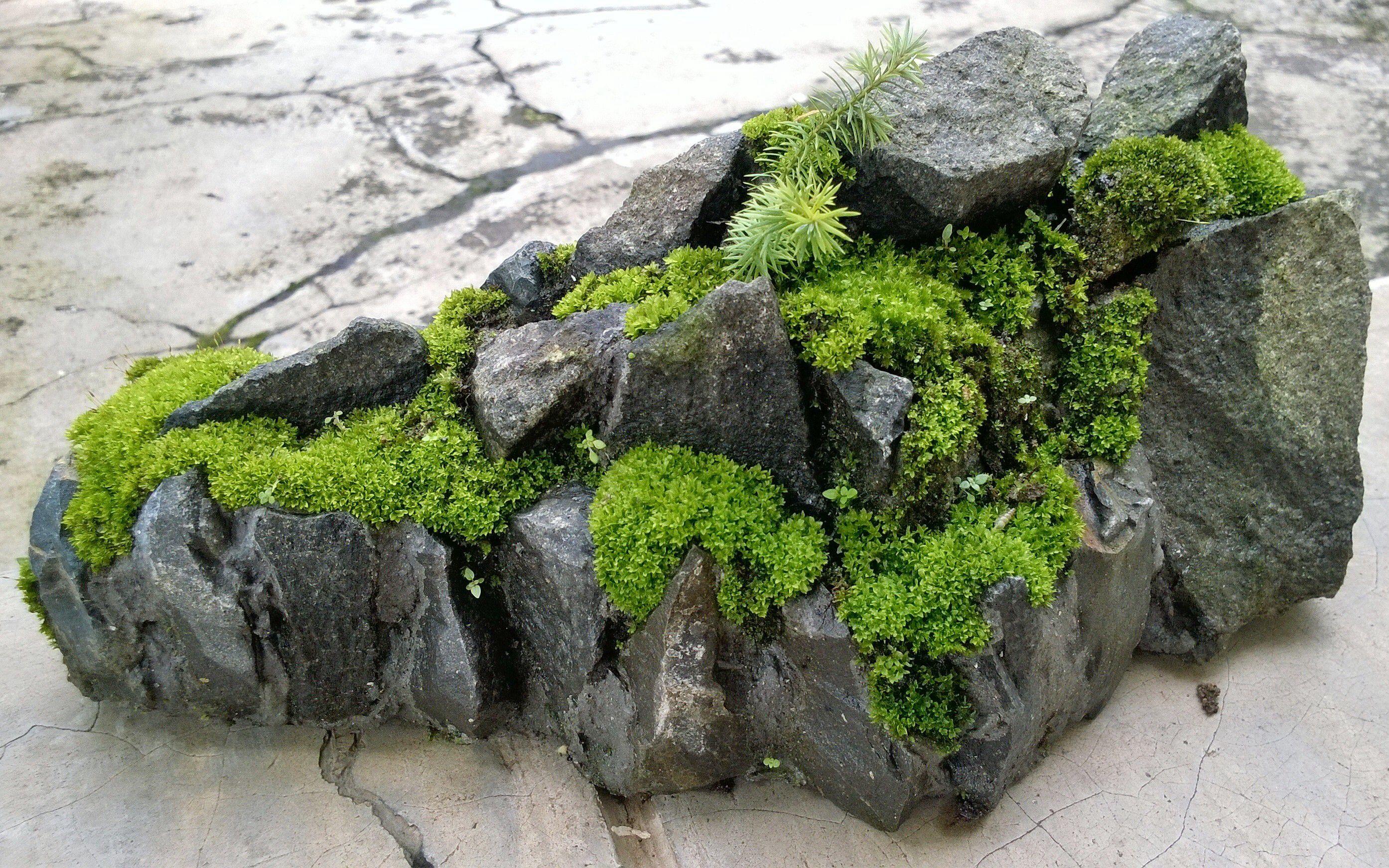 Moss for your penjing bonsai - Japanische zimmerpflanzen ...