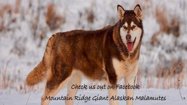 Giant Alaskan Malamutes Mountian Ridge Giant Alaskan Malamute