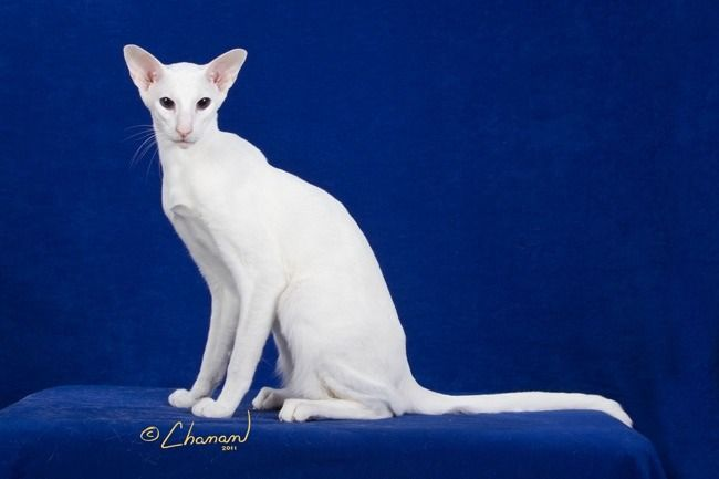 Blue Eyed White Oriental Shorthair Cat Oriental Shorthair Cats Oriental Shorthair Cats