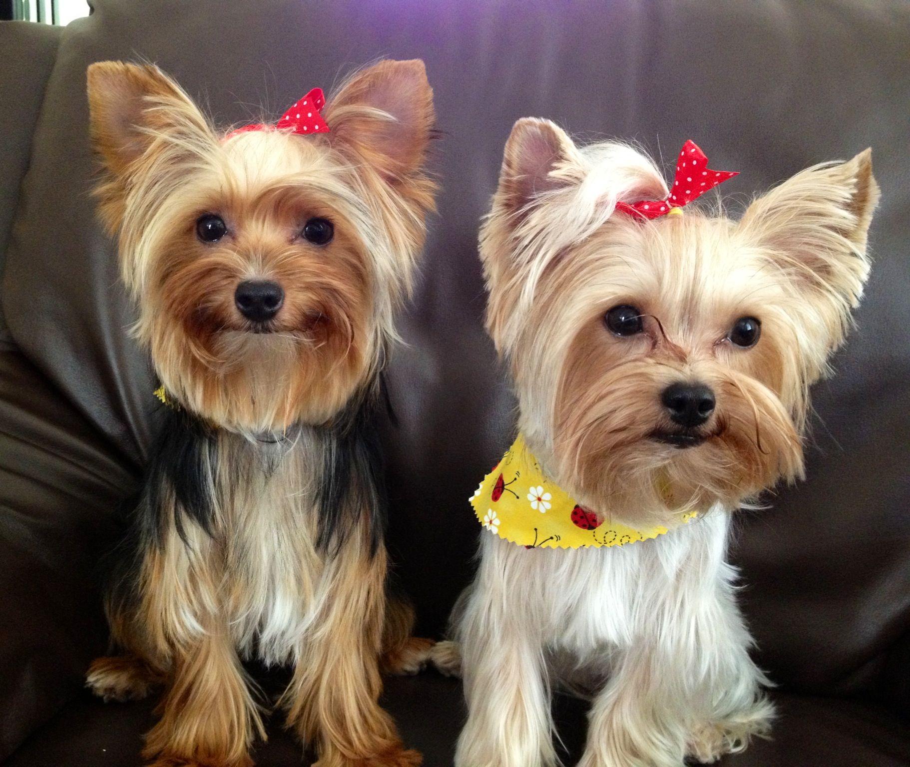 Yorkie Puppies Freshly Groomed Pets Yorkie Pinterest Yorkie