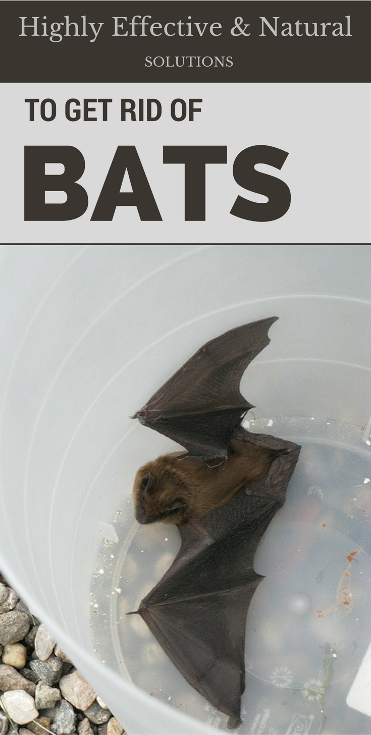 Many Of Us Look For Remedies On How To Get Rid Of Bats It Is Not An Easy Task But You Can Do It Just Follow Getting Rid Of Bats Bat