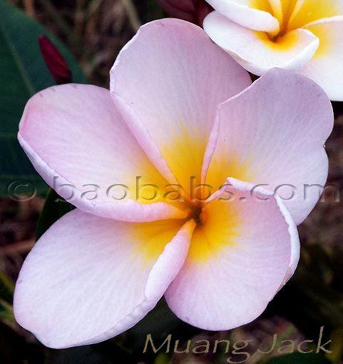 Royalty Free Plumeria Flower Photos In 2020 Flower Photos Frangipani Plumeria