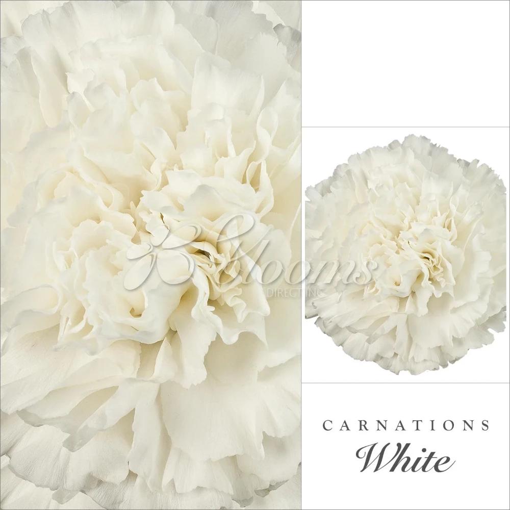 Carnation White Ebloomsdirect Bulk Flowers Online Carnations Carnation Flower