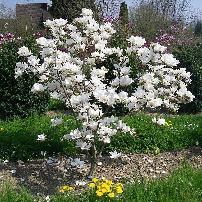 magnolia x soulangeana 39 alba superba 39 bl te weisse tulpen. Black Bedroom Furniture Sets. Home Design Ideas