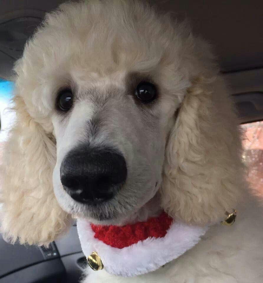 Resultado de imagen para poodle nose