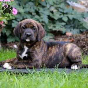 Sparkle Boxer Mix Puppy For Sale in Pennsylvania Boxer