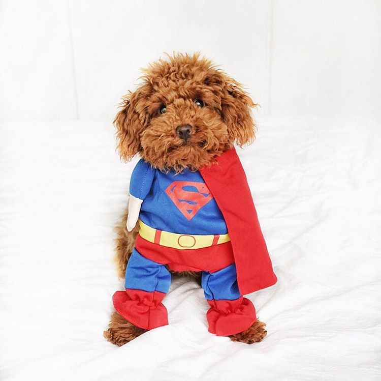 Jinkee Red Toy Poodle On Instagram Pizza Is My Kryptonite What Are You Wearing This Halloween Lifeofjinkee Weeklyfluff How Poodle Toy Poodle Toys