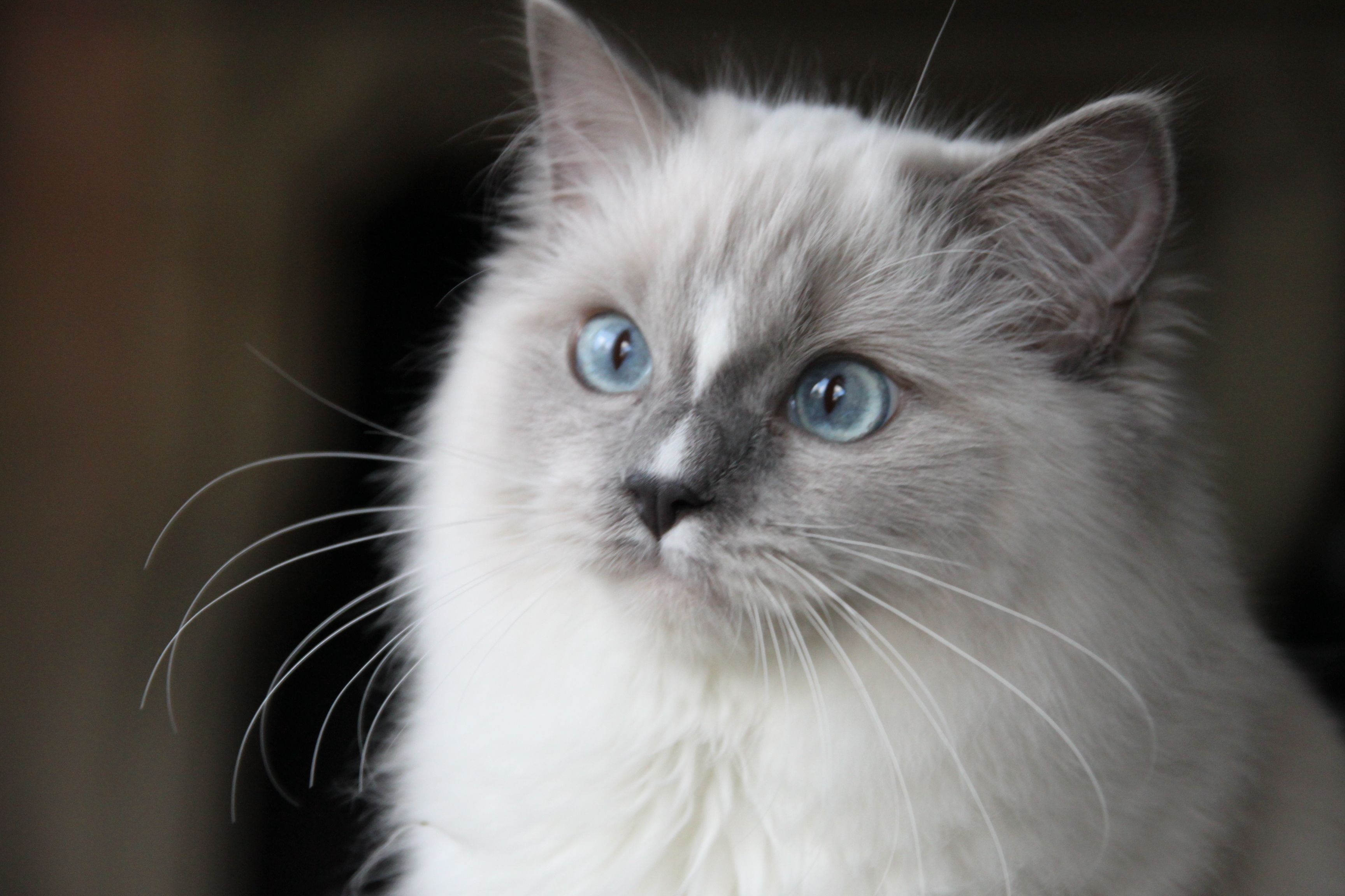 Blue Mitted Ragdoll Kitty Www Ribbonsragdolls Com Baby Cats Gorgeous Cats Pretty Cats