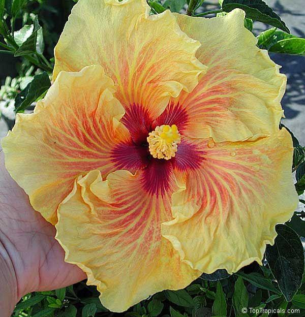 Hibiscus rosa-sinensis, Tropical Hibiscus - Toptropicals.com