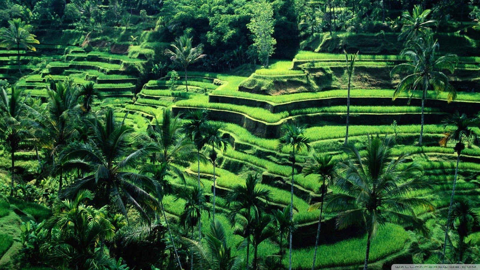 Gambar Pemandangan Sawah Yang Indah Bali Pemandangan Bali Indonesia