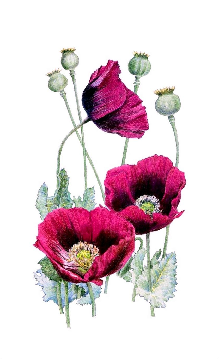 Pin By Mothergoosekath On Flower Pinterest Drawing Pictures