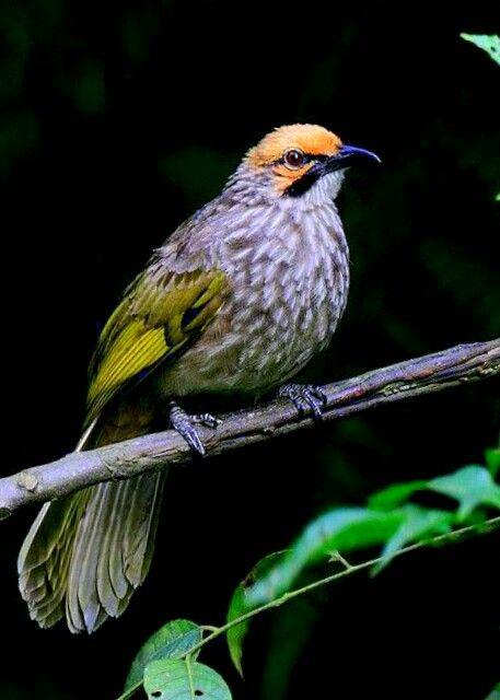 Cucak Rawa Bulbul Beautiful Birds Birds
