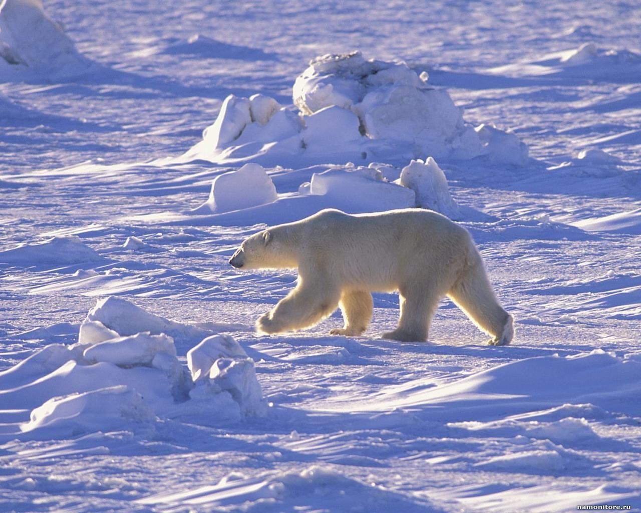 the Polar bear, going on snowcovered desert Polar bear