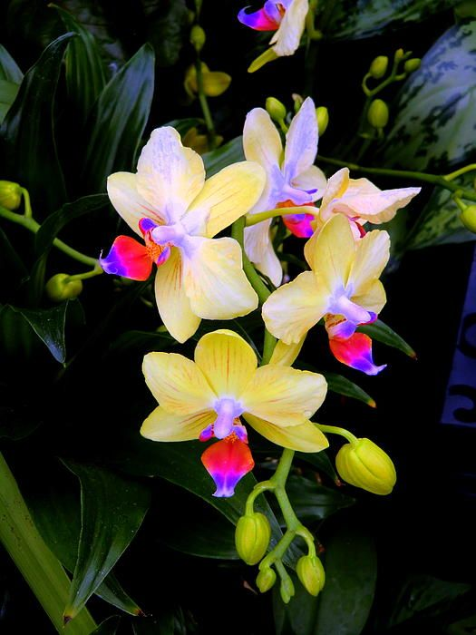 Fallen Angels By Mindy Newman Beautiful Orchids Orchid Seeds Orchid Flower