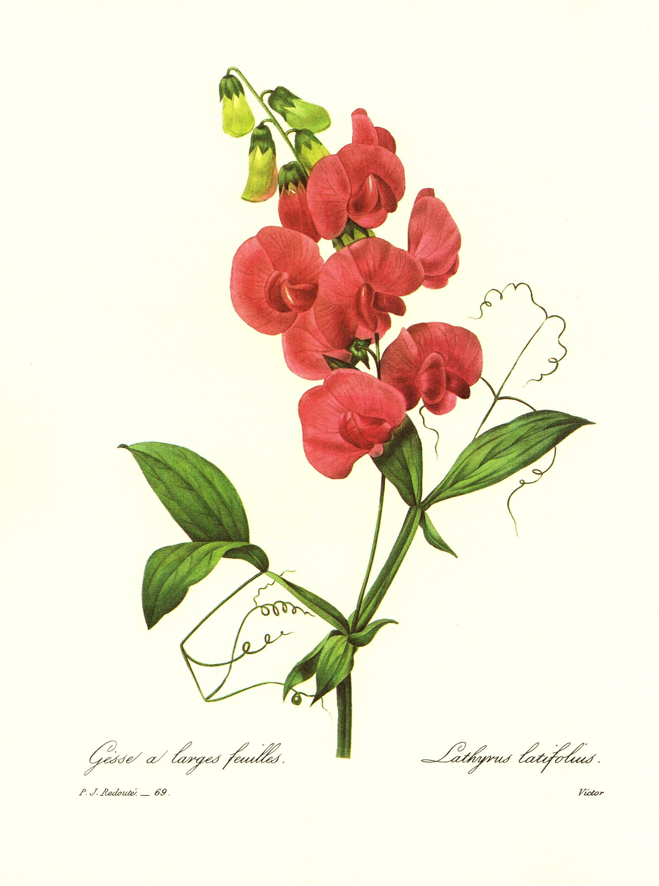 Lovely Vintage Sweet Pea Print Redoute Botanical Pink Flower Art Gift For Birthday Housewarming Wedding Pjr 3928 By Plaindealing On Etsy
