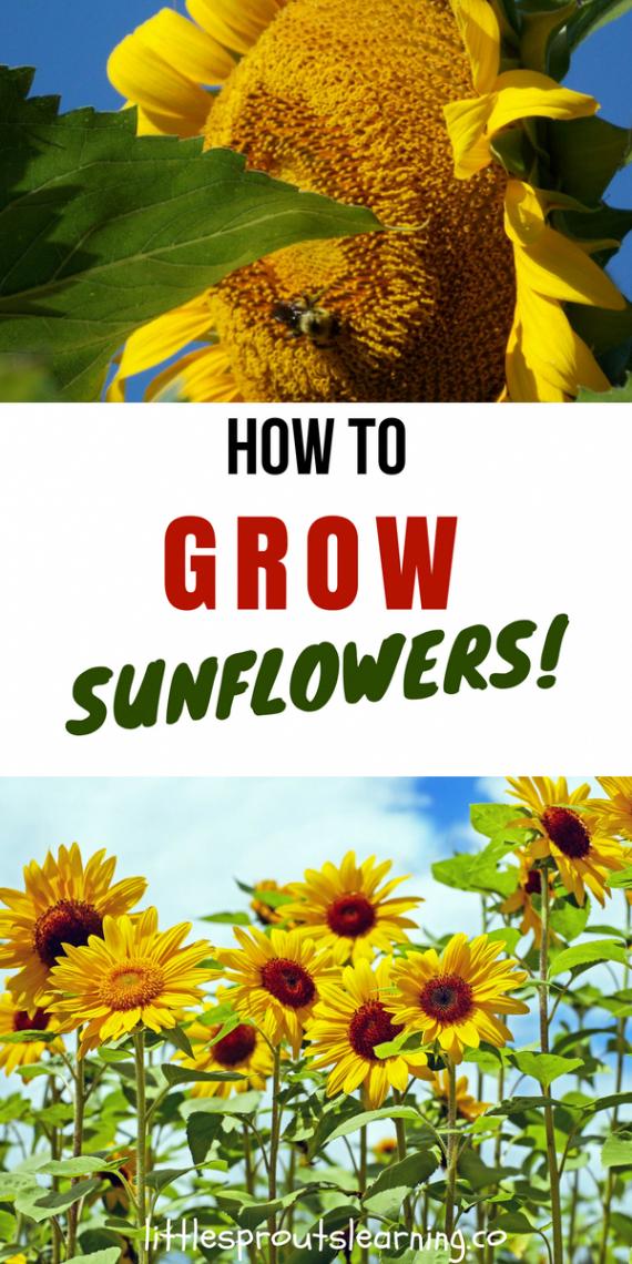 How To Grow Sunflowers Gardeningtipsforbeginners Growing Sunflowers Sunflower Garden Planting Sunflowers