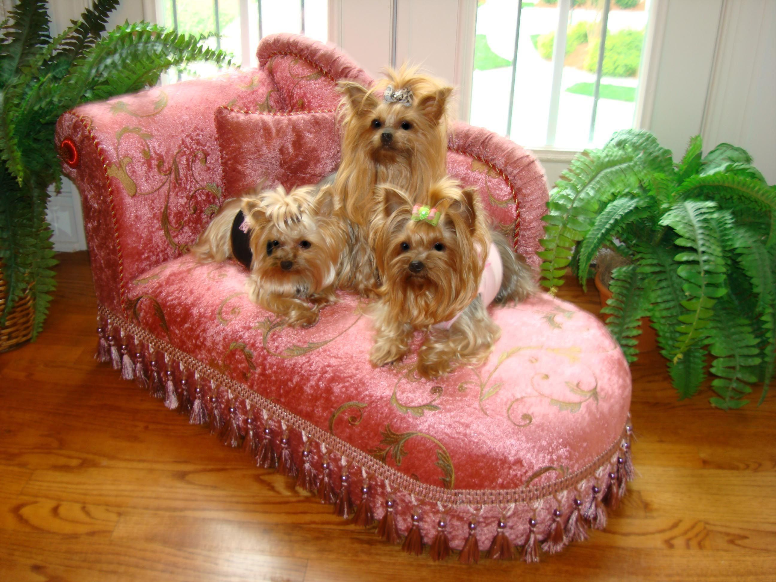 Google Image Result For Http Www Sassyyorkie Com V Vspfiles Assets Images United 2520k 9 2520yorkie 2520chaise 2 2520inch Jpg Yorkie Puppy Yorkie Yorkie Dogs