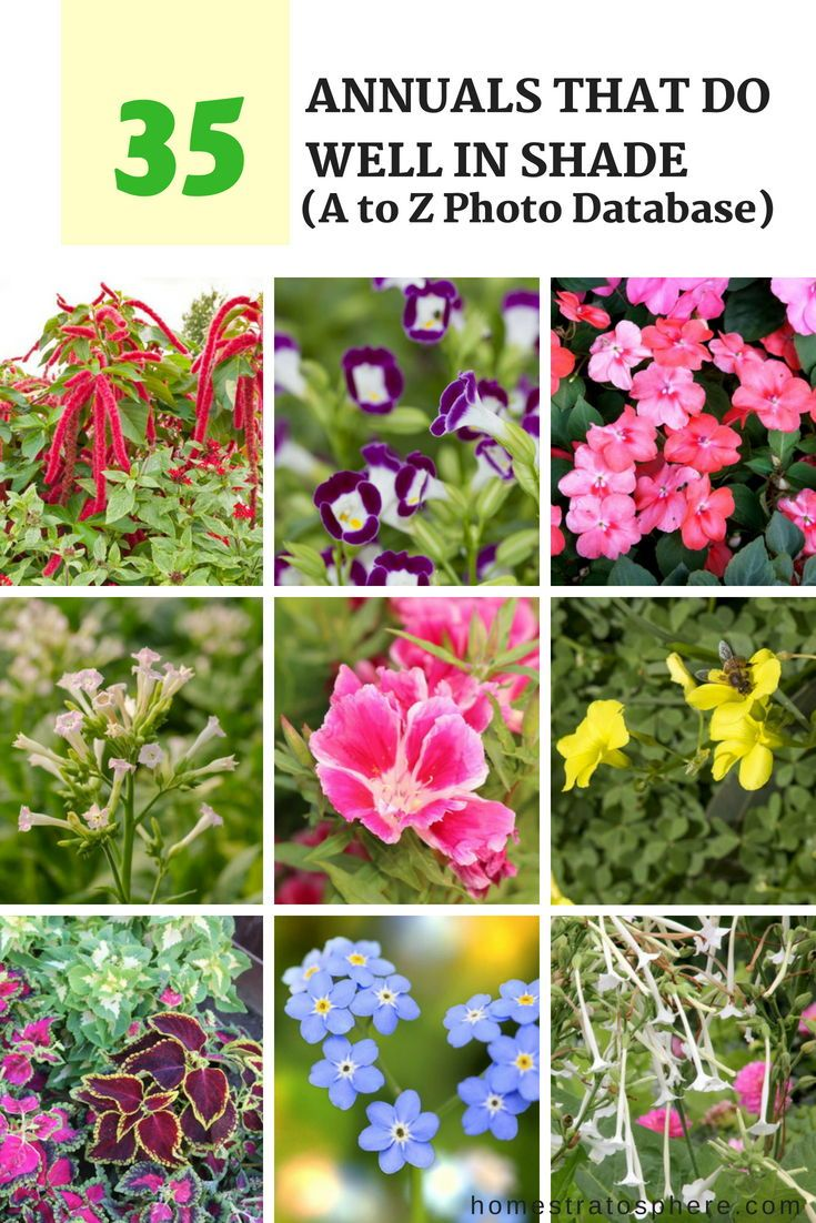 35 annuals that do well in shade a to z photo database gardens 35 annuals that do well in shade a to z photo database gardens flowers annuals landscaping izmirmasajfo