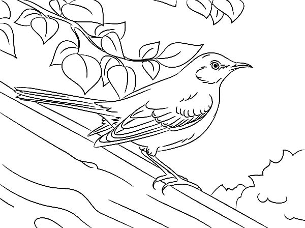 Drawing Northern Mockingbird Coloring Pages Color Luna In 2020 Drawings Coloring Pages Coloring Pictures