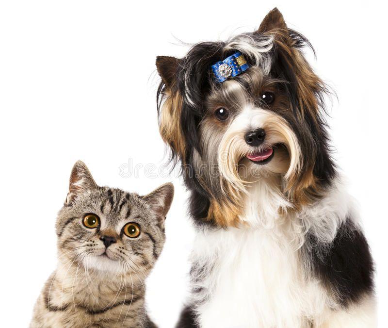 Cat And Dog British Kitten And Beaver Yorkshire Terrier Ad British Dog Cat Kitten Terrier Ad Dogs Cats Dog Cat