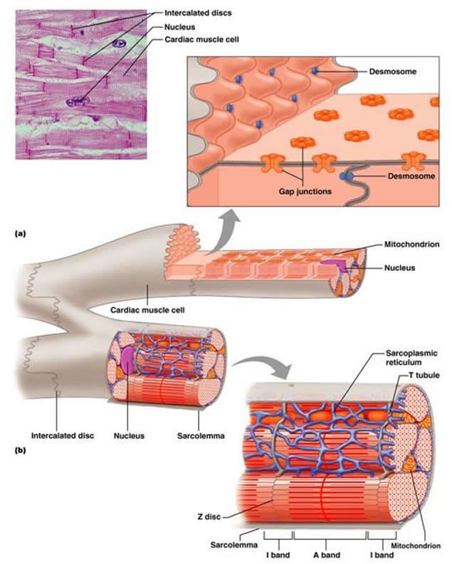 desmosomes and gap junctions in cardiac muscle - google search, Human Body