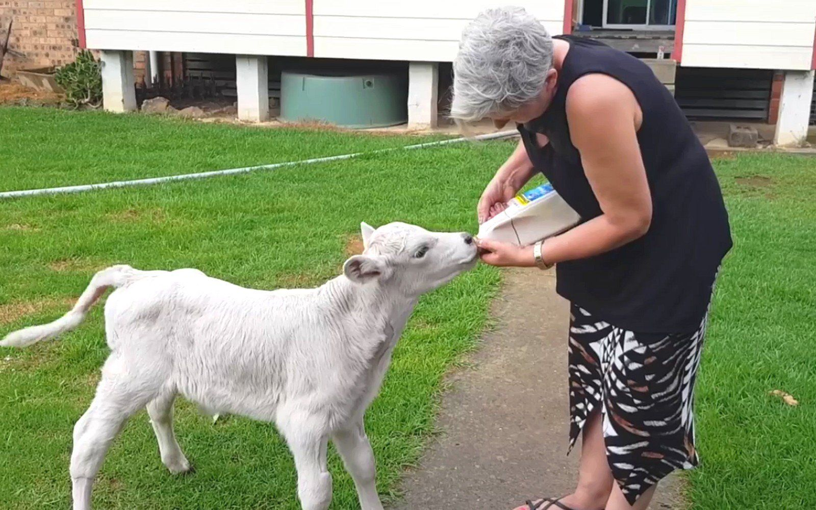 Watching This Dedicated Foster Mom Nurse A Sick Orphaned Calf Back
