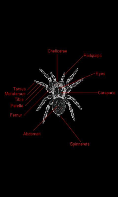 Tarantula anatomy | Reptiles | Pinterest | Reptiles and Animal