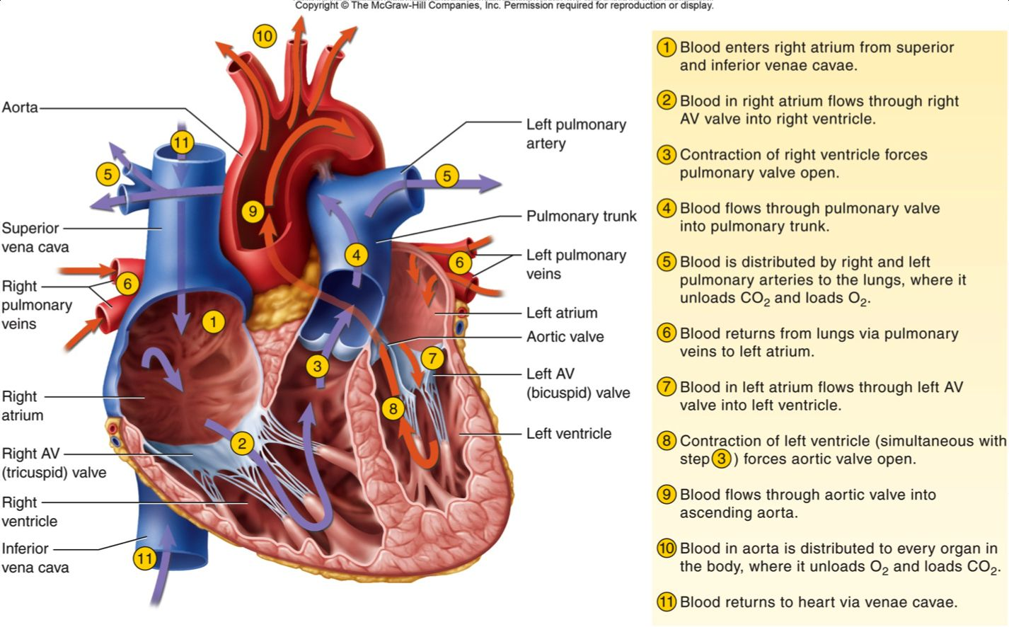 Step Of Blood Flow Through The Heart Heart Blood Flow ...
