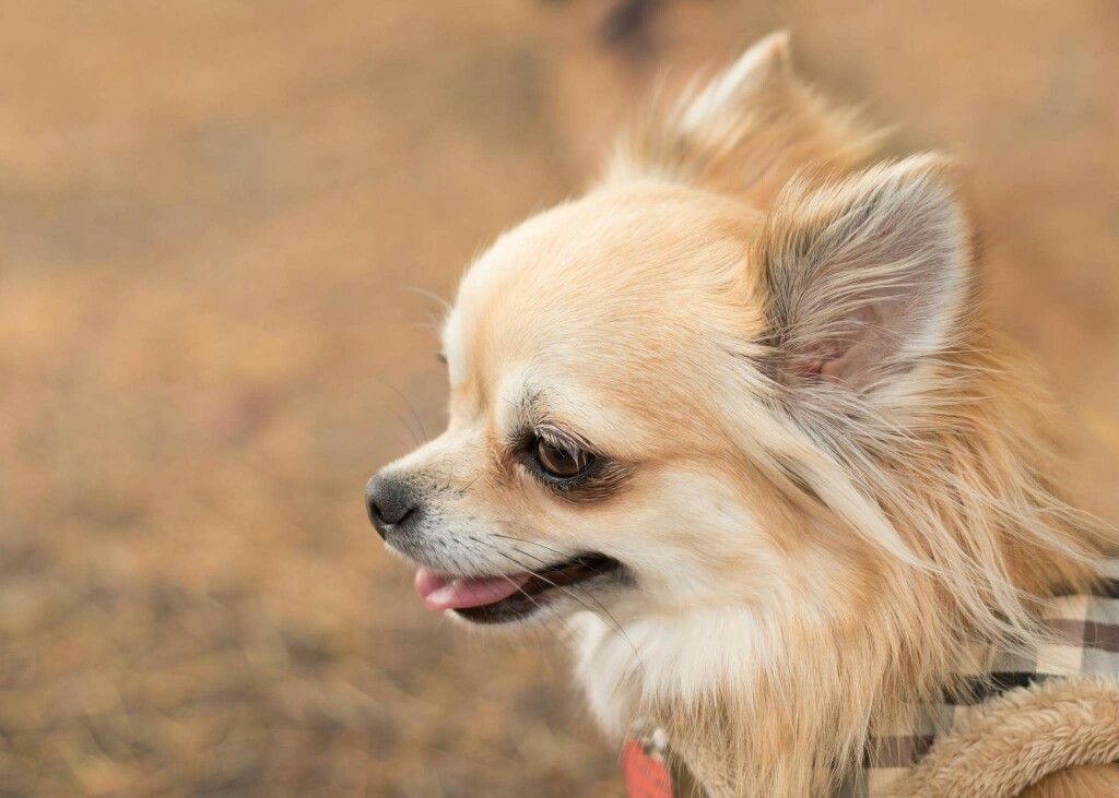 Peaches Golden Fawn And Cream Longhaired Chihuahua Cute Chihuahua