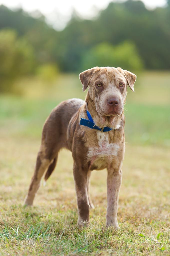 Hank The Catahoula Shar Pei Mix Adopt Great Dane Friends