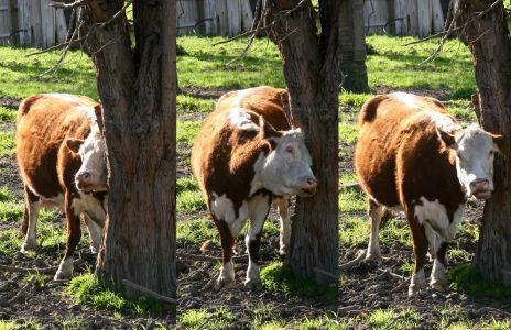 Cow scratching herself upon a tree