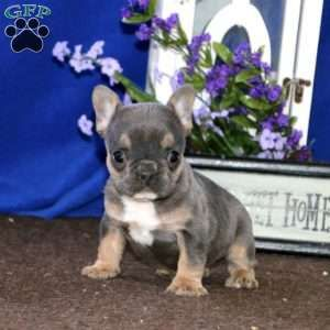 Blue Star French Bulldog Puppy For Sale in Pennsylvania