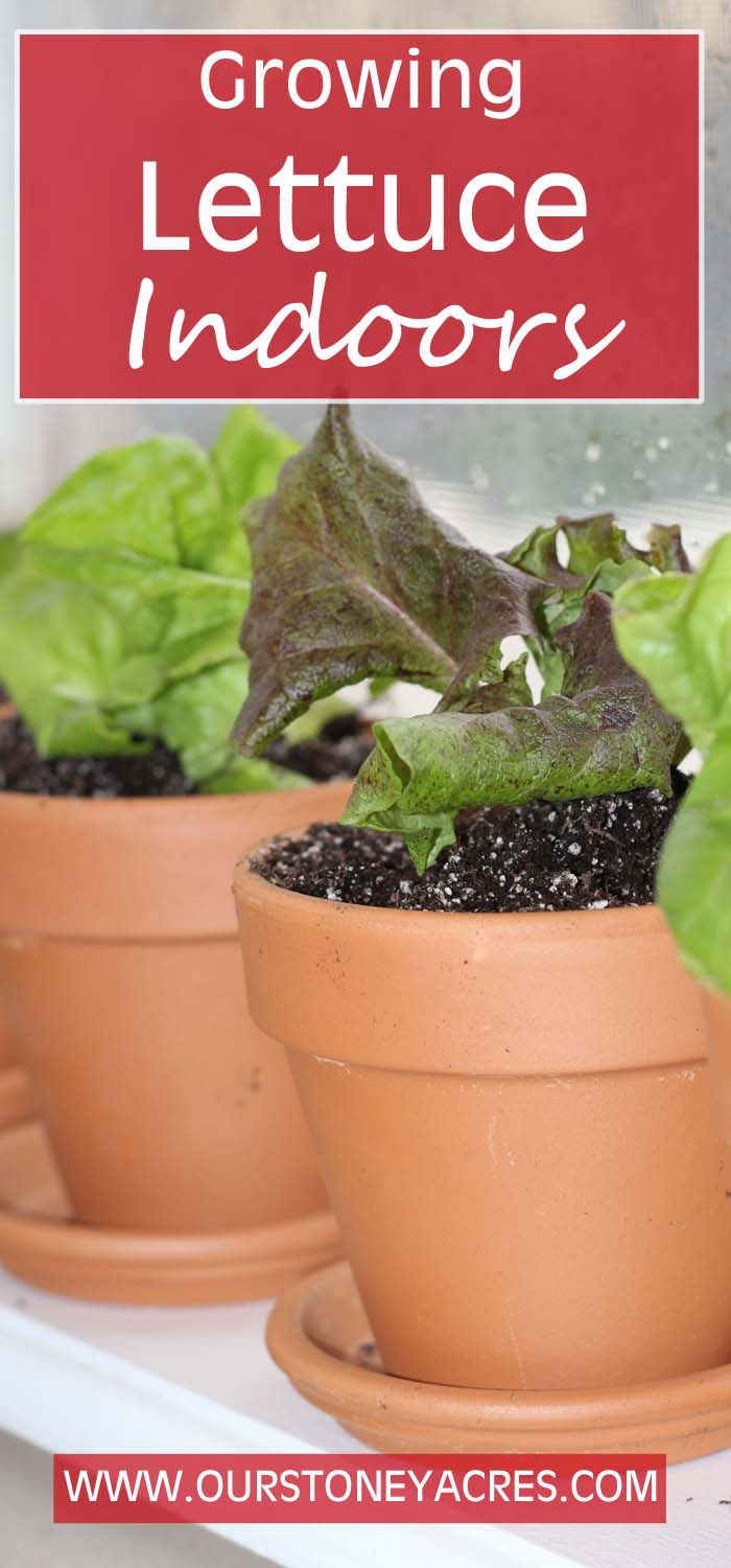 growing lettuce indoors in the winter growing lettuce lettuce