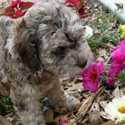 Cockapoos Breeders Registry American Cockapoo Club Breeders