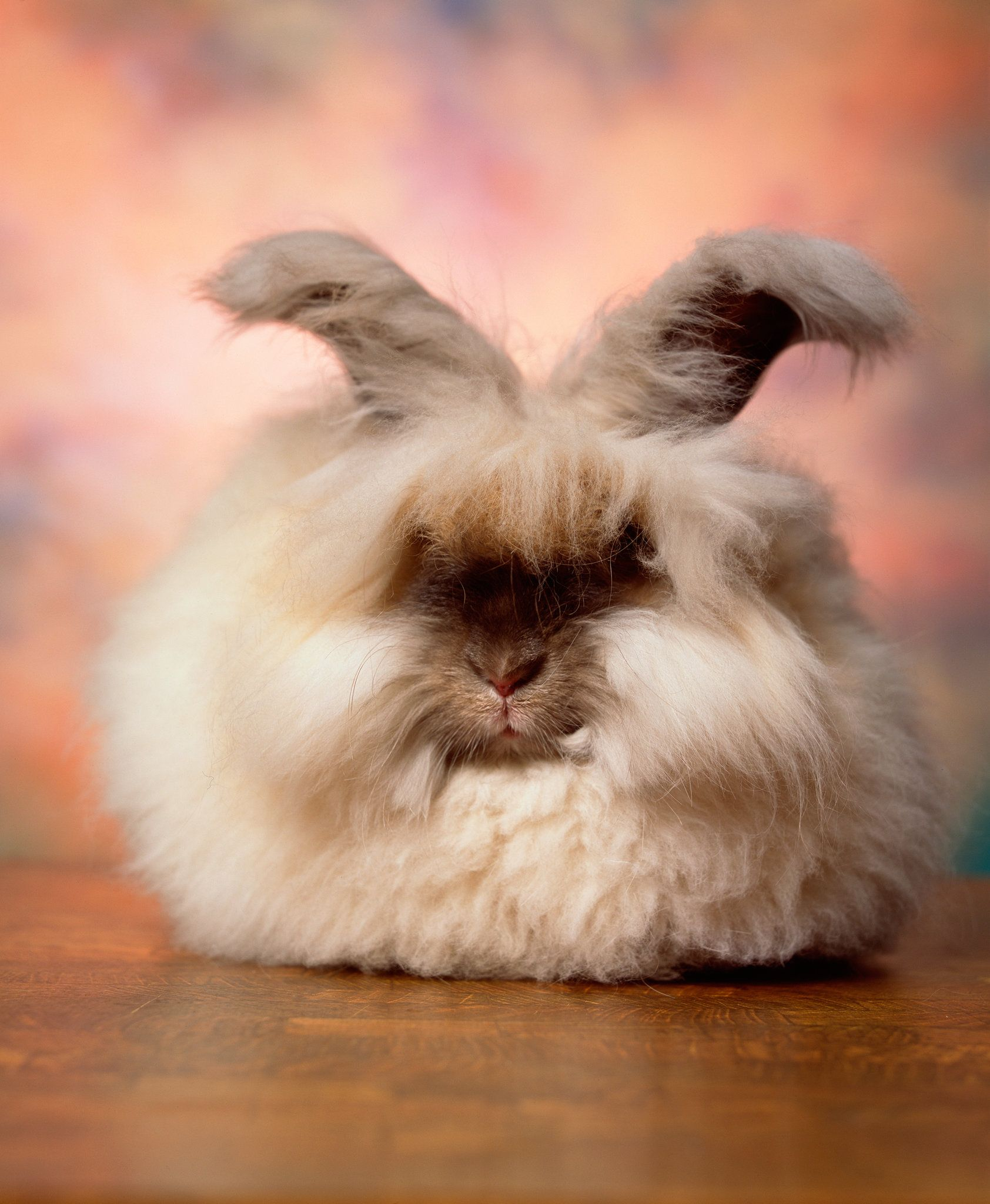 the cuddly fluffy surreal world of angora show bunnies rabbit